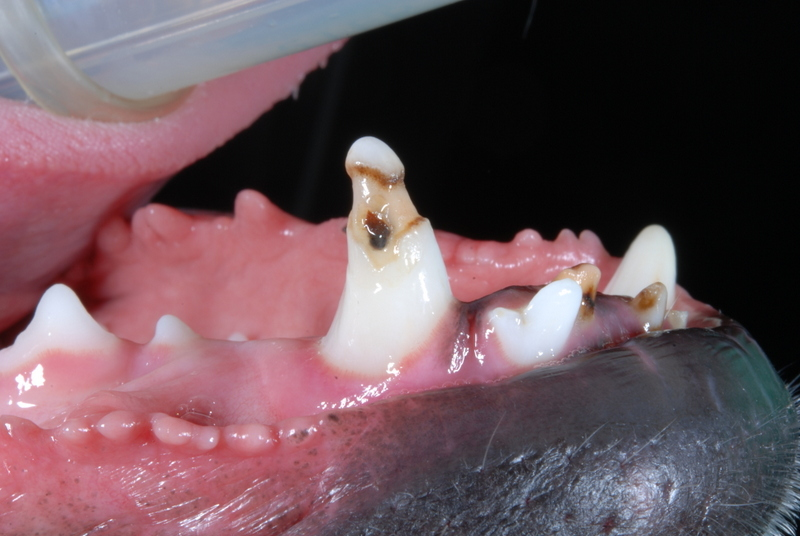 Enamel Defect on Canine Tooth